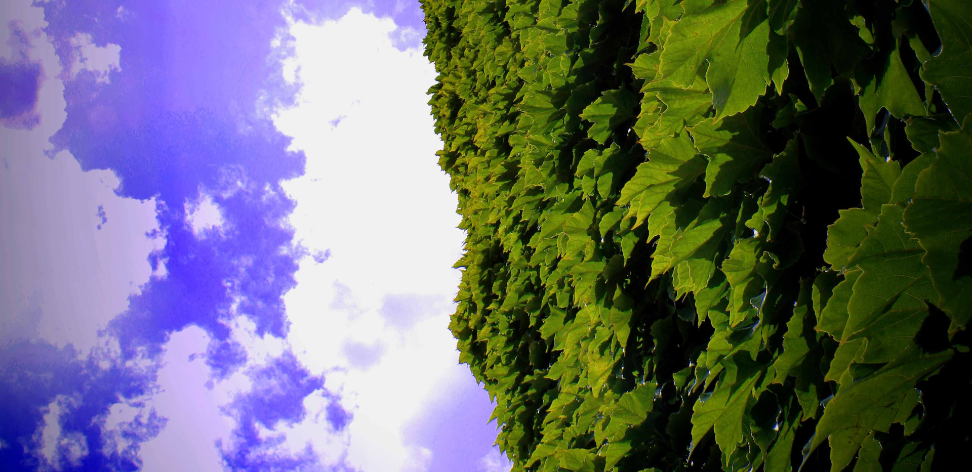 Ivy in Green Park