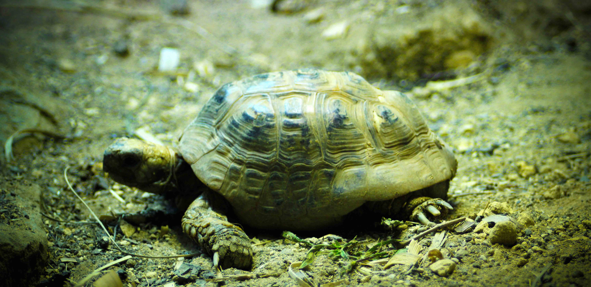 Greek Spur-Thighed Tortoise