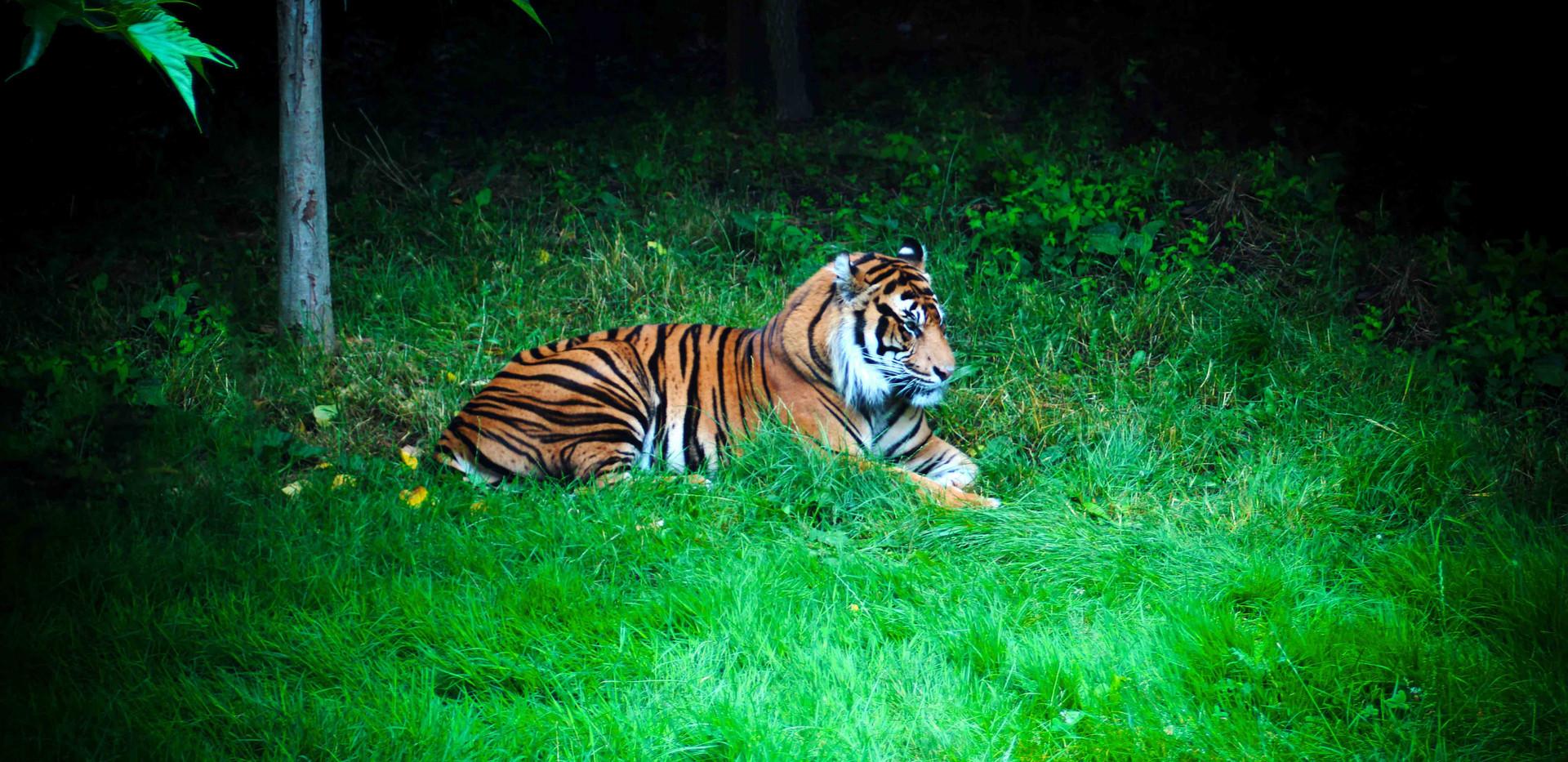 Sumatran Tiger in ZSL London Zoo
