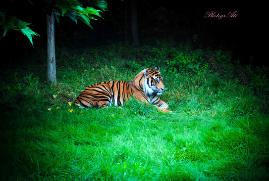 Sumatran Tiger in ZSL London Zoo