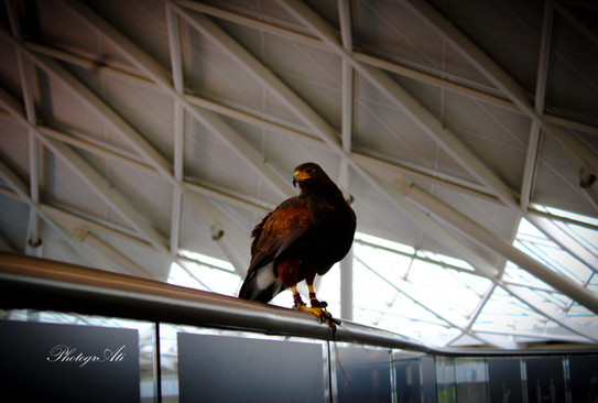 Harris's Hawk on Kings Cross Station