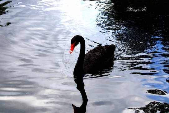 Black Swan in Green Park