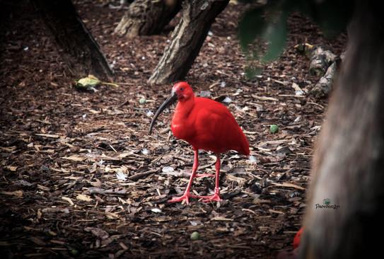 Scarlet Ibis.jpg