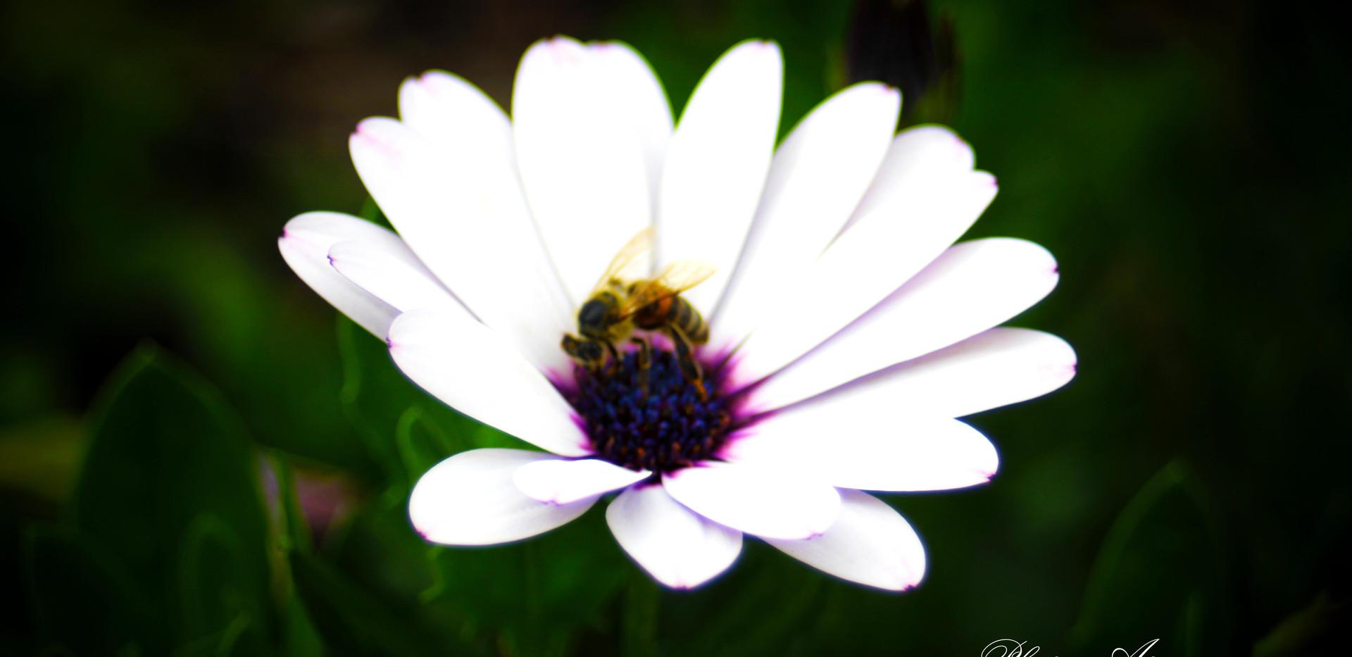 White Osteospermum Daisy and Bee