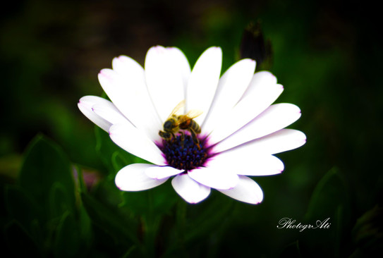 White Osteospermum Daisy and Bee