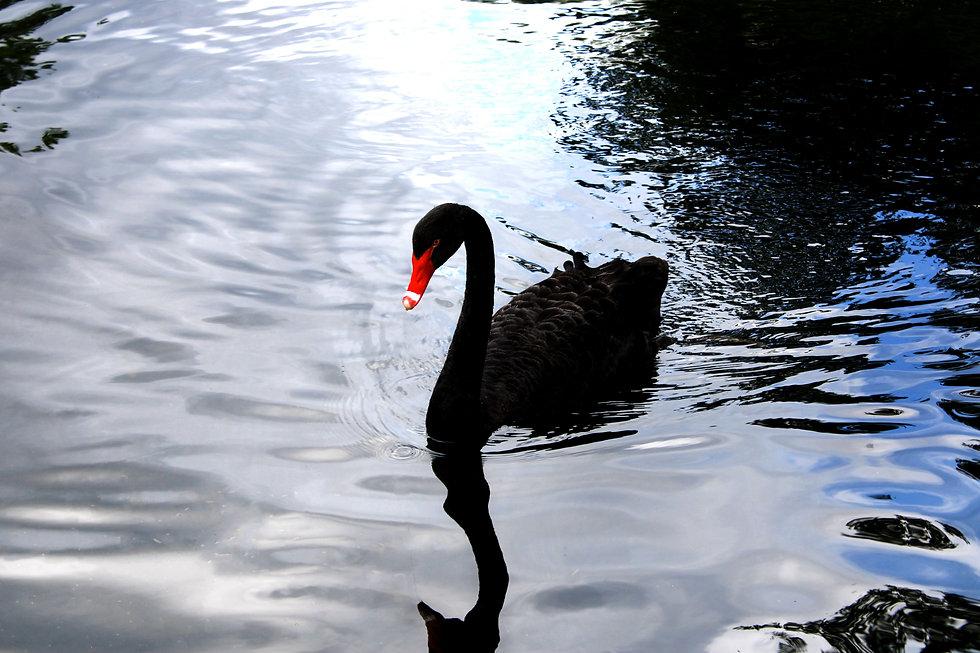 blackswan-2.jpg