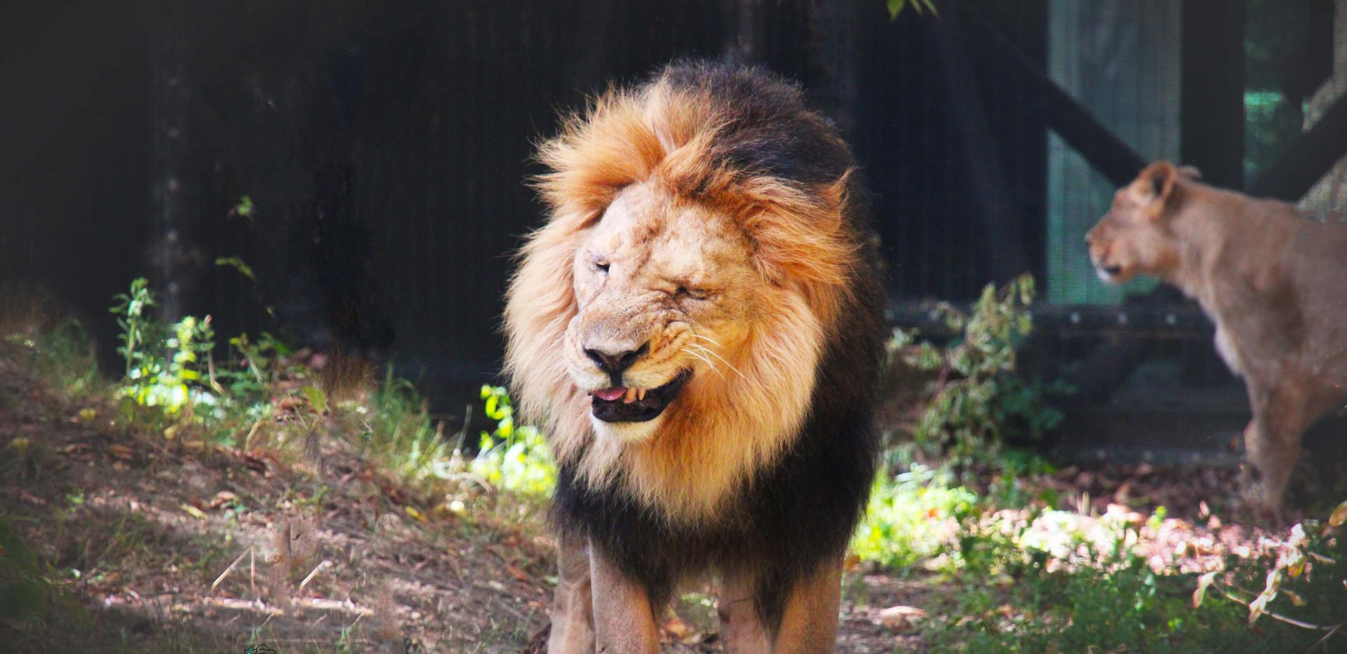 Bhanu the Lion sneezing