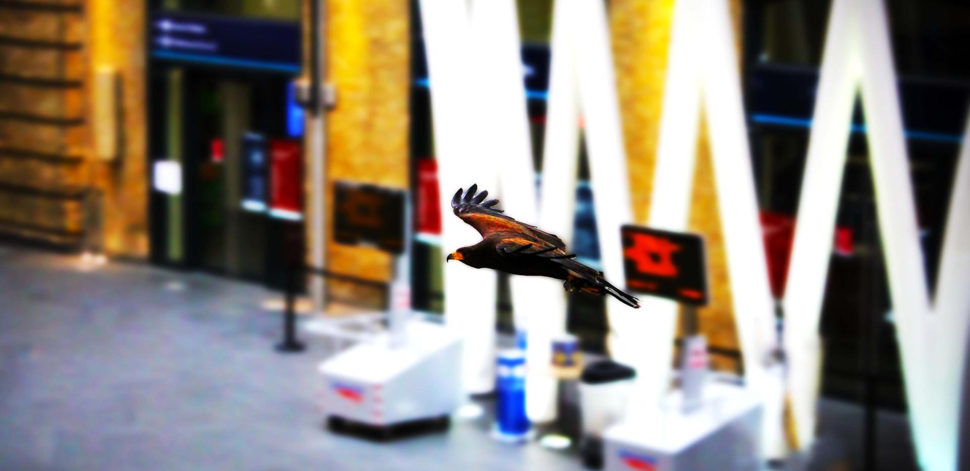 Harris's Hawk on Kings Cross Station