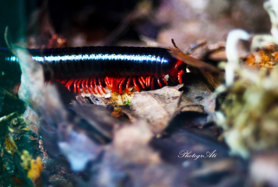 Red-legged Millipede