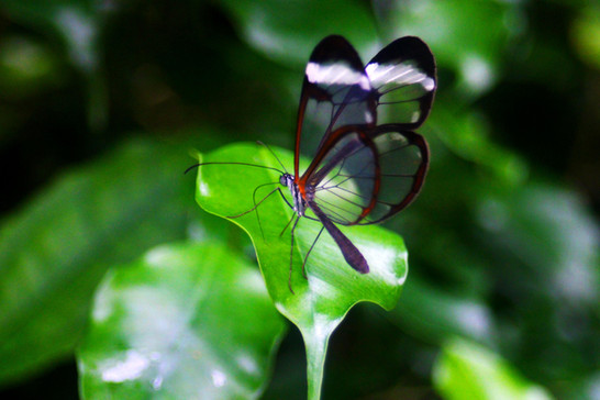 Glasswing butterfly on the leaf