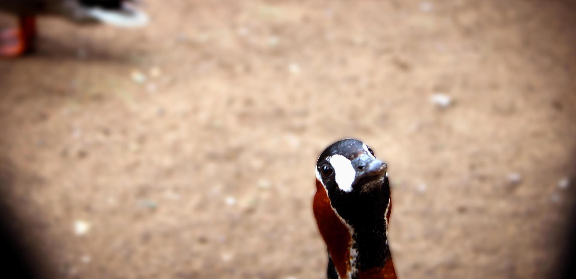 Duck in Green Park