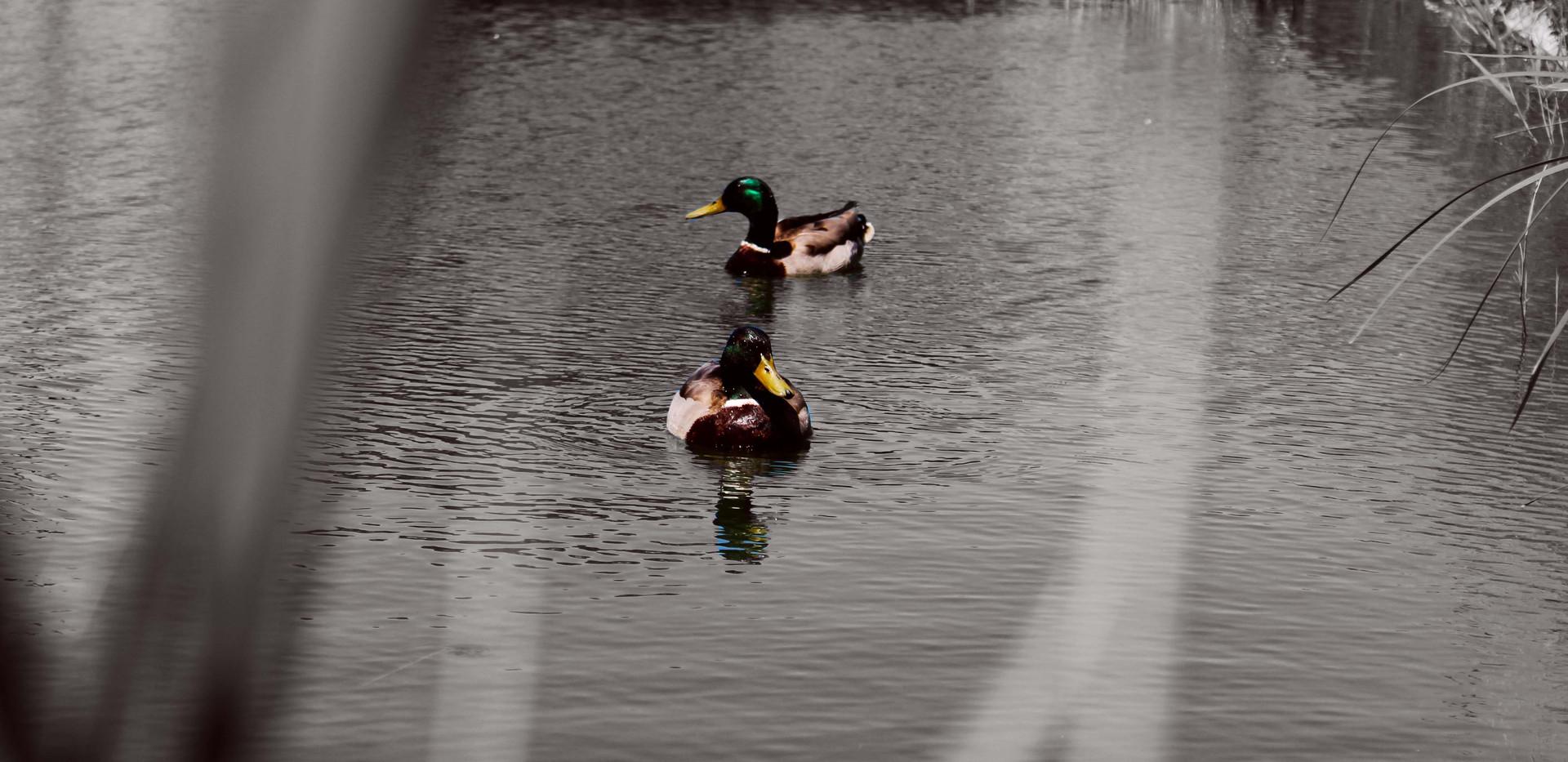 Ducks in Lordship Recreation Ground