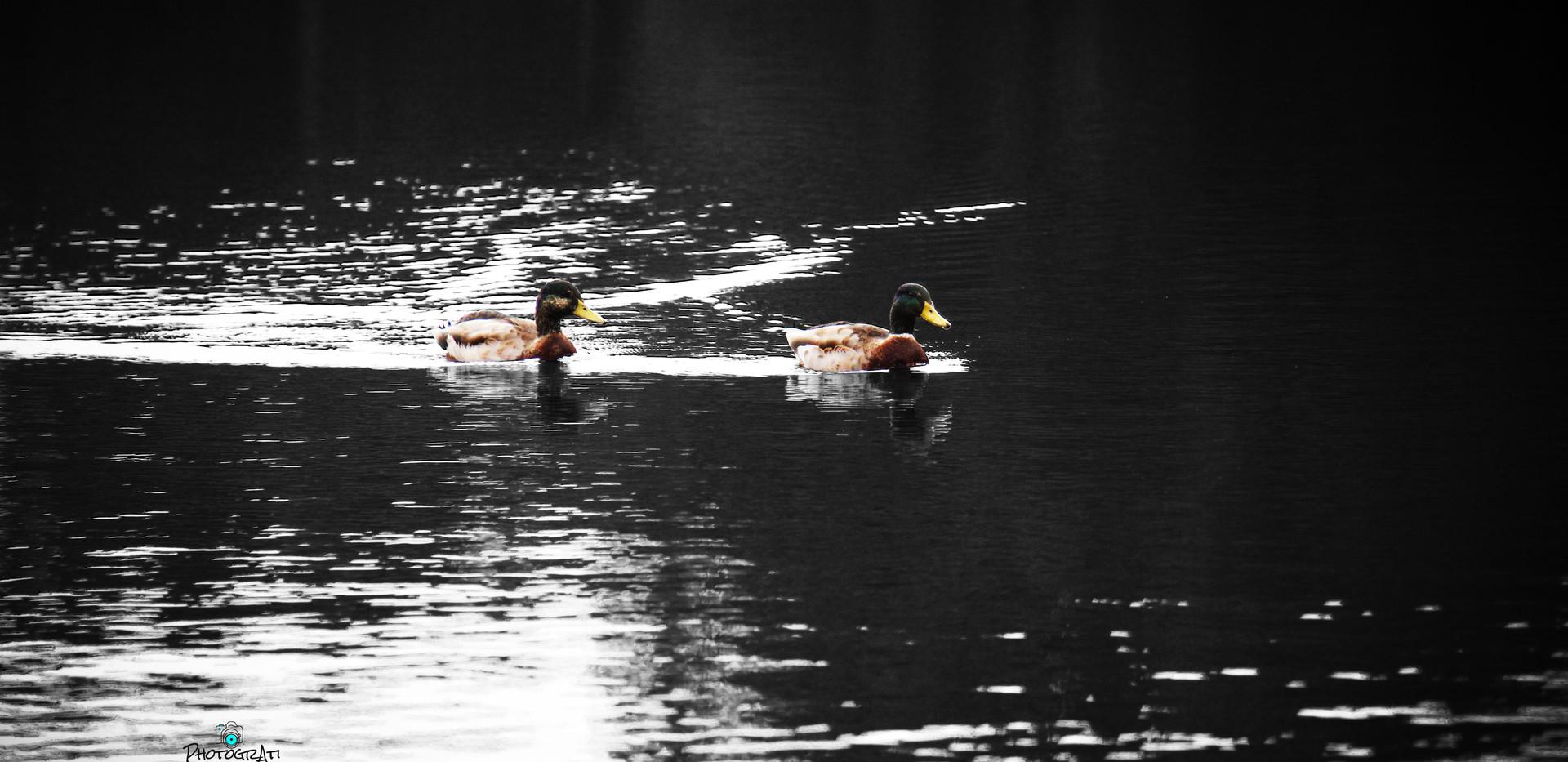 Angmering Ducks