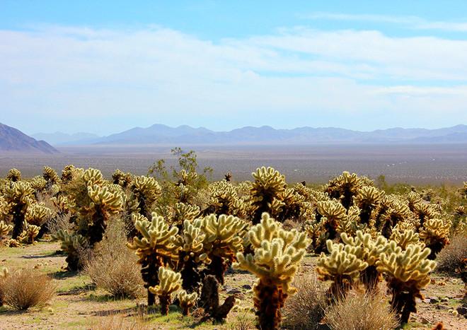 Cholla Cactus Garden, Joshua Tree