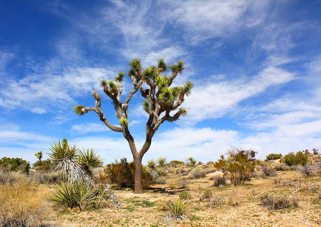 Yuca Tree, Joshua Tree