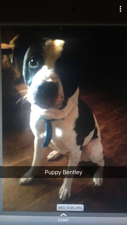 Puppy Bentley