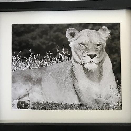 Lioness Pride