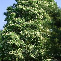 Ohio Buckeye Chestnut