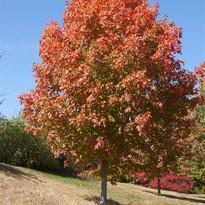 Fall Fiesta Maple