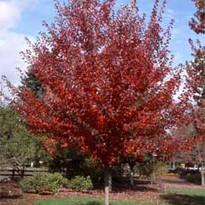 Somerset Maple