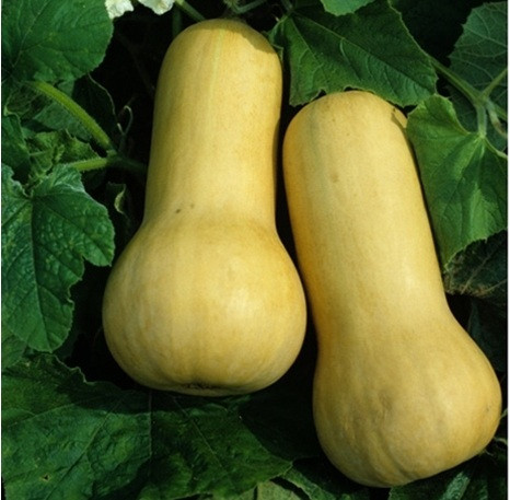 Squash Early Butternut.jpg