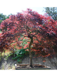 Japanese Maple- Red Dragon