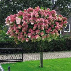 Vanilla Strawberry Hydrangea Tree Form