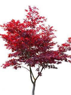 Japanese Maple- Bloodgood