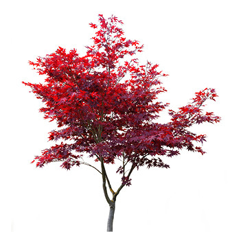 Japanese Maple- Bloodgood