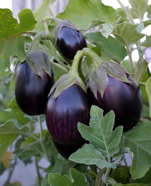 Eggplant Black Beauty.jpg