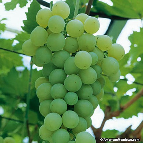 Himrod Grape