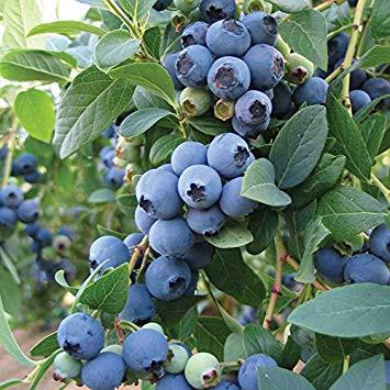Bluecrop Blueberry