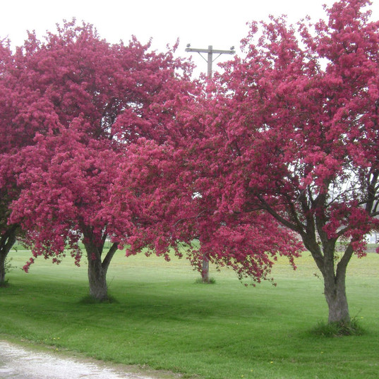 Prairie Rose Crabapple