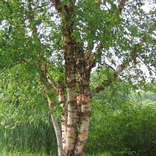 Heritage Birch