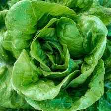 Lettuce Buttercrunch.jpg