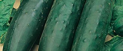 Cucumber Marketmore.jpg