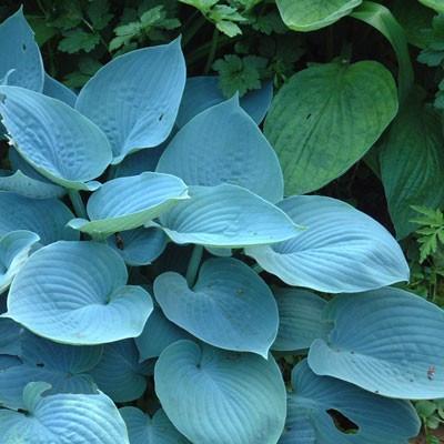 Hadspen Blue