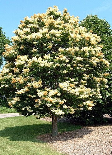 Ivory Silk Lilac