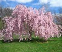 Pink Cascade Weeping Cherry