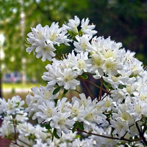 Azalea chionoides