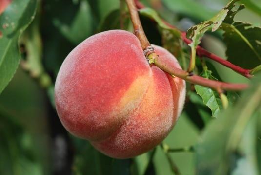 Reliance Peach