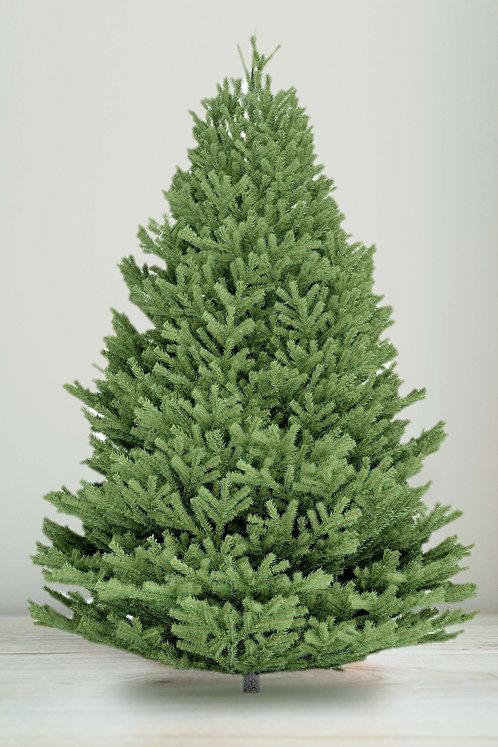 8ft Douglas Fir Tree