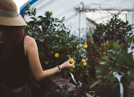 Picture of a producer picking lemon in a greenhouse