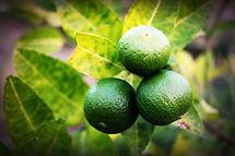Trois lime encore sur leur arbre fruitier