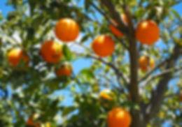 Image d'un arbre fruitier pleins d'oranges