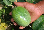 a passion fruit or maracuja held in a hand