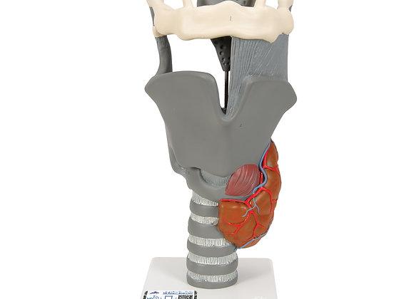 Functional larynx, larynx, 2.5x enlarged