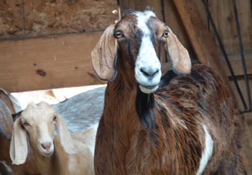 goats inside.png