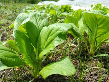 春夏の小松菜は小ぶり採りで