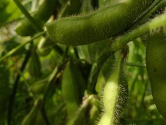 枝豆収穫期へ